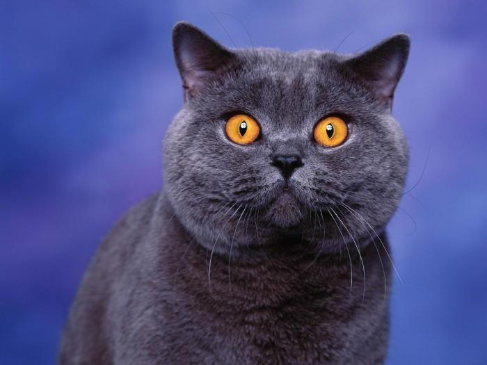 Couleurs et fourrures de British Shorthair