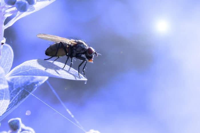 L'exposition des mouches à la lumière bleue